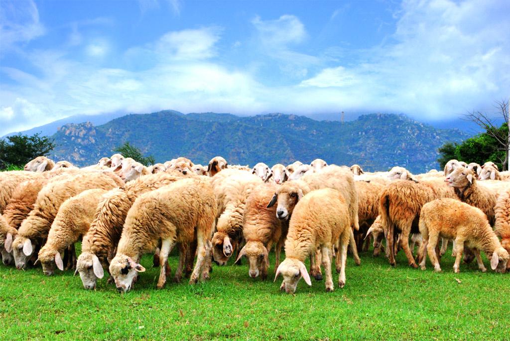 nhau thai cừu organic365